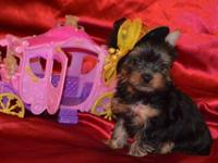 WE HAVE YORKIES FOR SALE THAT ARE HOME RAISED!! WE HAVE