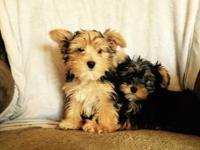 CKC registered Yorkie Males that are 13 weeks old. They