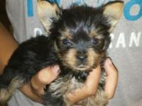 Black and Gold Party Yorkie born June 26, 2015. He has