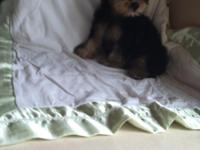 YORKIE MALE 3 MONTHS OLD WITH ALL SOTHS HE IS VET
