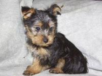 These super cute yorkie puppies were born November 1,