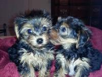 TEACUP YORKSHIRE TERRIER PUREBRED MALE PUPPY WITH