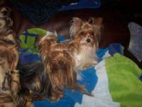 Male yorkie babies born March 3, 2013. Have had there