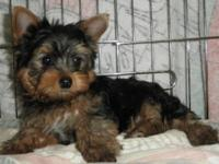 Mr. Wiggles is an awesome little male Yorkie looking