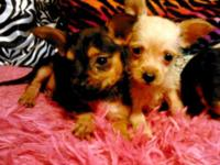 I'm selling 5 Yorkshire terrier/Chihuahua mix puppies