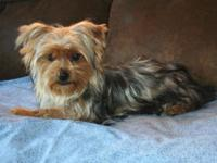 AKC Parti yorkshire terrier male born 3/15/14 is