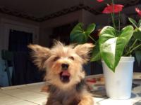 Male yorkie pup 16wks old. Well socialized and great