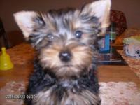 Yorky Puppies ,Born April 2,2015 ,Registered CKC,Health