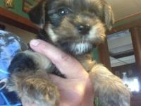 Taking deposits to hold 3 very sweet Yorkie pups. *