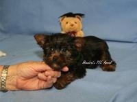 Terrier Pups from 2  to 7 lbs full grown. AKC