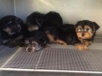 Cute male and female Yorkshire Terrier young puppies
