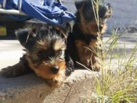 I have two purebread Yorkshire Terrier Puppies for