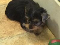 Puppy Dog City has yorkie puppies available now for a