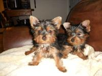 Pure Breed Yorkshire Terrier Puppie 3 months old. They