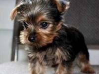 Beautiful litter of miniature Yorkshire Terrier puppies