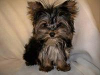 Absolutely beautiful Yorkshire Terrier puppies that are