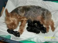 I have four female yorkshire terrier puppies born