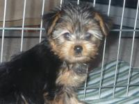 I have 3 female and 2 male Yorkshire Terrier puppies