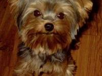 Tiny little male Yorkshire Terriers $500. Born April
