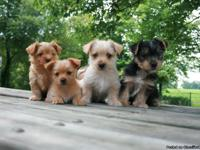 Adorable Yorkie, puppies are 8 weeks old on June