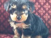 Two standard female 8 week old Yorkshire Terrier