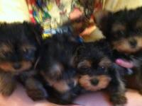 Ckc registered Yorkshire Terrier puppies . Will be 8