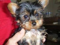 Yorkshire Terrier Female Puppies One will be Tiny --- 2