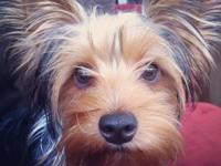 I have beautiful Purebred Yorkshire Terrier Puppies for