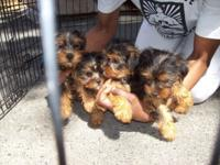 Adorable Male and Female Yorkshire Terrier puppies are