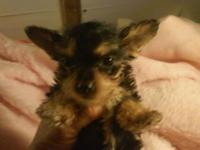 I have 4 yorkies looking for their forever homes. I