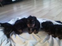 I have 6 Yorkshire Puppies. 5 Females and 1 Male. They