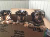 Pure Bred Yorkie Puppies born on 4/19/15. 2 Males and 1