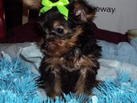 Yorkie puppies both male and female. Free vet visit and