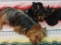 Yorkie pups available in September!! (1) tiny teacup
