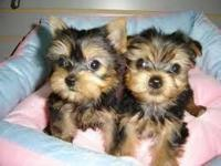 Teacup yorkie pups ready for adoption both male and