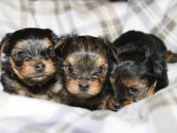 Home raised in Washington, DC. These puppies will be 8