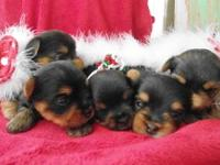 I have a litter of CKC Registered Yorkie Puppies. They