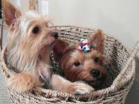 Yorkshire Terrier puppies! CKC signed up. I have 2