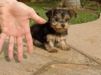 Yorkshire Terrier Puppies for