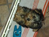 and Morkie(Maltese/Yorkie )young puppies prepared to go
