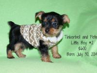 Tinkerbell and Petie had 3 cute yorkie children on July