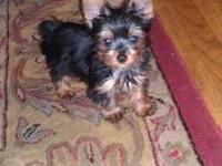 Pure Breed almost 12 weeks old Yorkie puppies. They are