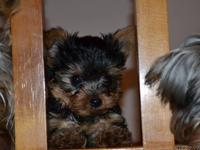 These 2 little puppies are (12 weeks old). Jack and