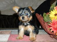Adorable purebred Yorkie pups, sired by AKC male and