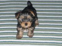 I have 6 female Yorkshire Terrier puppies (TEACUP/TOY