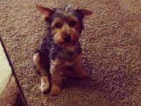 I have 2 male Yorkshire Terrier puppies (TEACUP/TOY