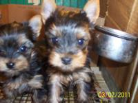 Tiny AKC Yorkshire Terrier pups. Will be aprox. 3 lbs
