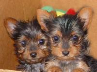 Yorkie Puppies, Purebred and Registered w/Papers CKC