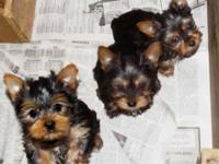 Yorkie Puppies, Purebred and Registered w/Papers CKC.