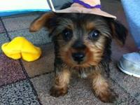 I have 3 male yorkies. They are just 8 weeks. Well